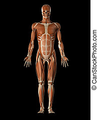 the male muscular system - medical illustration of the male...