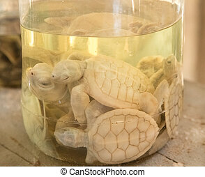 Albino turtles in glass jar at Sea Turtle Farm and Hatchery...