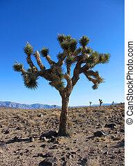 Joshua, árbol, Yuca,  brevifolia,  California