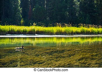 Duck and the River. Crystal Clear Truckee River in...