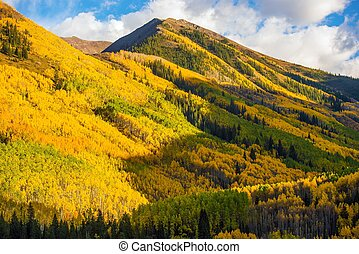 Fall Hills of Colorado. Yellow Aspen Trees Forest near...