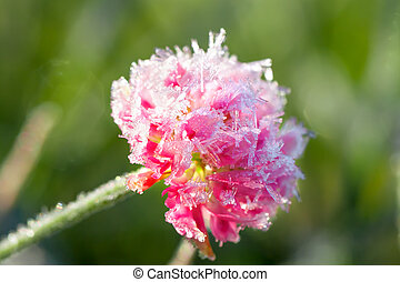 pink flower of a clover is covered with hoarfrost