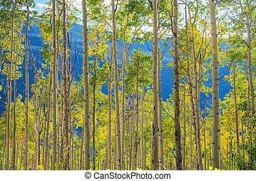 Green Yellow Aspen Trees Scenery near Aspen, Colorado,...