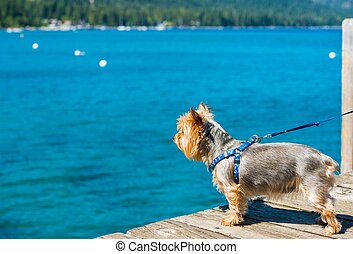 Dog Walk at the Lake. Lake Tahoe and Silky Terrier on Leash.