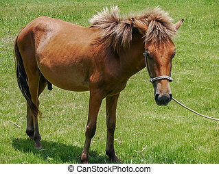Yonaguni Horse, native breed horse to the Yonaguni Island,...