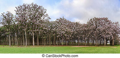 Paulownia trees in flower during spring - Pretty woodland of...