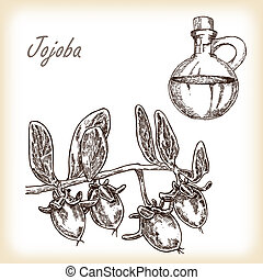 Jojoba fruit with glass jar Hand drawn vector illustration...
