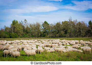 sheep on the meadow. Sheep graze in the meadow. Herd of...