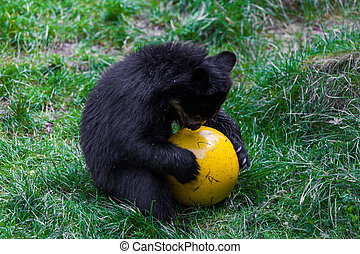 Little bear playing with ball small wild bear