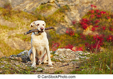 Dog with stick - Labrador retriever with wooden stick in...