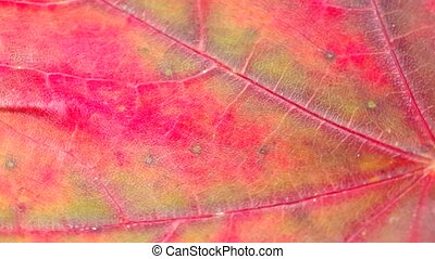 Detail of a red leaf - Detail of red leaf rotates on the...