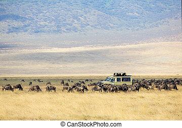 Safari tourists on game drive in Ngorongoro - Safari car on...