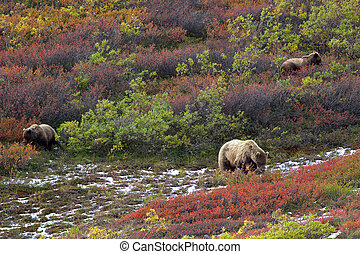 Three grizzly bears in tundra - Three brown bears grizzly;...