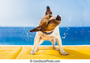 dog shaking - cute small dog shaking at the beach with...