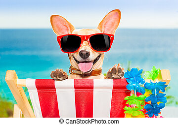 dog vacation - chihuahua dog at the beach having a a...