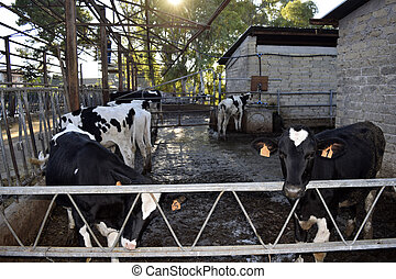 cattle rearing - a stable with rearing of beefs