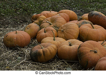 Flat Oange Pumpkins - Pile of flat orange pumpkins at a...