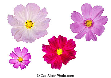 blooming cosmos flowers isolated on white background -...