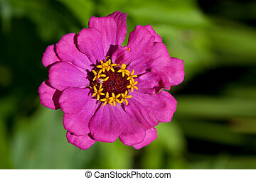 Zinnia elegans - Pink zinnia flower in the summer garden