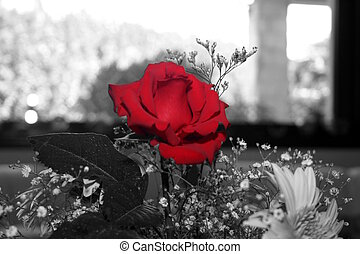 red rose at home