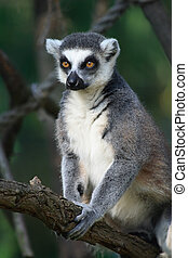 lemur monkey - nice lemur monkey from the ZOO Prague