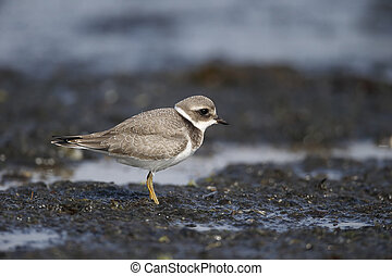 Ringed plover, Charadrius hiaticula, young bird on muddy...