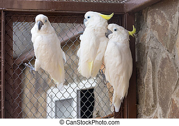 Three Sulphur-crested Cockatoo Cacatua galerita in zoo