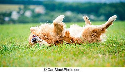 Golden Retriever - beautiful dog breed golden retriever...