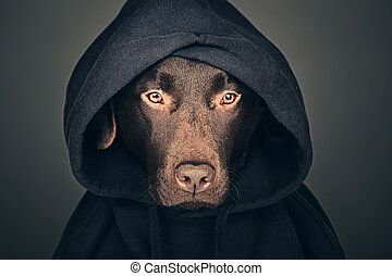 Chocolate Labrador in Hooded Top