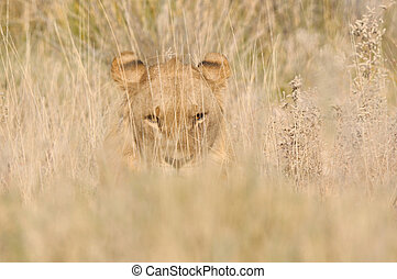 Lion hiding in the grass