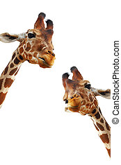 Couple of giraffes closeup portrait isolated on white...