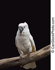 White parrot closeup portrait on black background