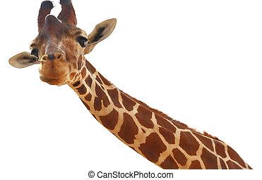 Girafa, closeup, Retrato, isolado, branca, fundo