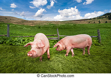 Cute pigs grazing at summer meadow at mountains pasturage...