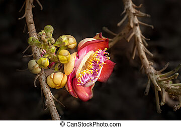 Beautiful tropical Cannon ball tree flower growing in rain...
