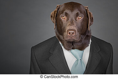 Shot of a Sophisticated Chocolate Labrador in Suit and Tie