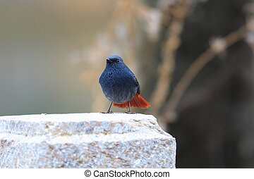 Plumbeous Water Redstart Rhyacornis fuliginosa in China