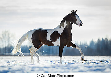 Beautiful horse trot in the snow in field in winter...