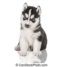 puppy Portrait - Husky - portrait of a puppy Siberian...