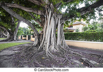 Giant banyan trees in Coral Gables, Florida, USA