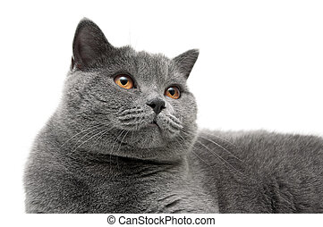 Portrait of a gray cat with yellow eyes on a white...
