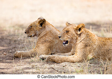 Two lions rests in the shadow - Two lions laying under a...