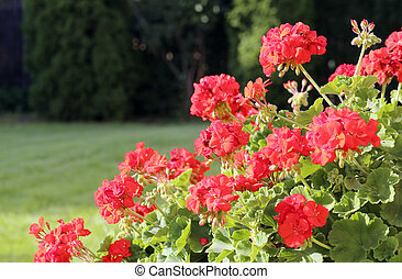 Geranium bushes with its' beautiful flowers