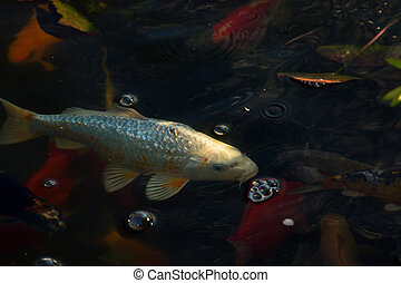 White carp fish in pond with other colorful fish