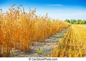 field of oat