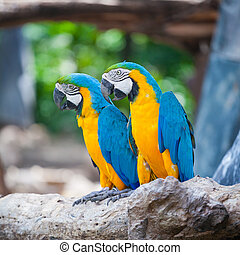 couple macaw - colorful couple macaw sitting in a tree