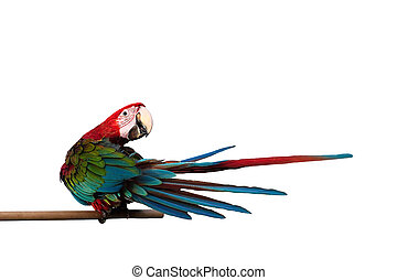Green-winged Macaw Ara chloropterus red birds isolated on...