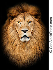 Portrait of huge beautiful male African lion against black...