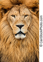 Portrait of huge beautiful male African lion