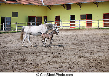 Lipizzaner foal running on farm